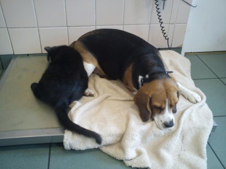 gato enfermero duerme junto a perro enfermo