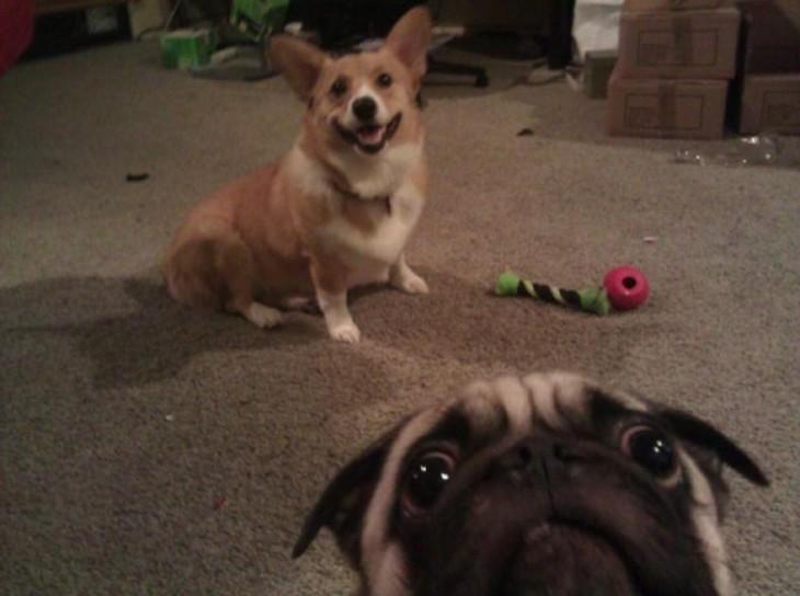 pug y caniche en selfie