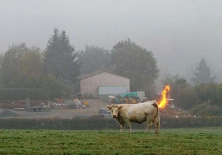 vaca con la cola incendiada