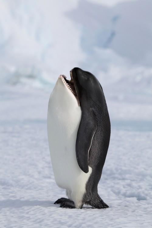 Cuerpo de pingüino con cabeza de ballena