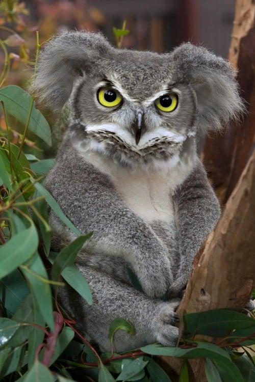 Koala con cara de búho en medio de un árbol
