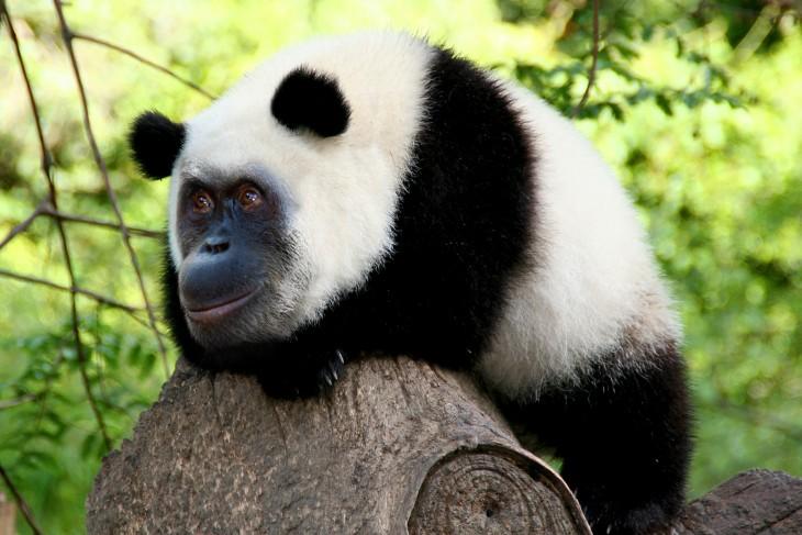 panda con cara de orangután