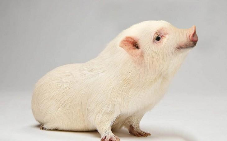 Puerco con cuerpo de hamster