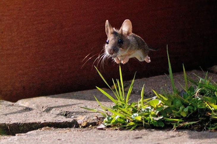 rata de campo pequeña