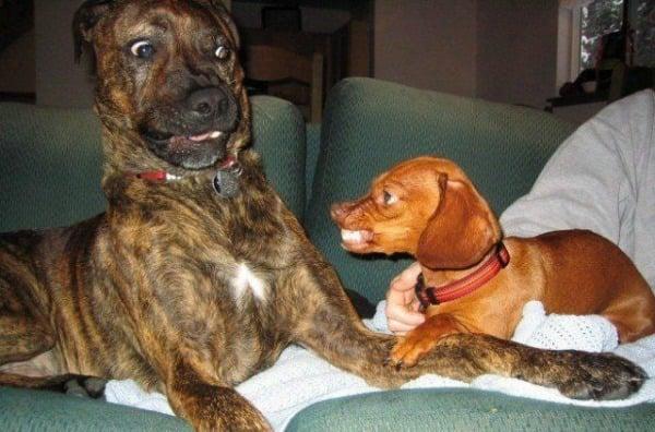 perro salchicha se impone ante cruza de pitbull
