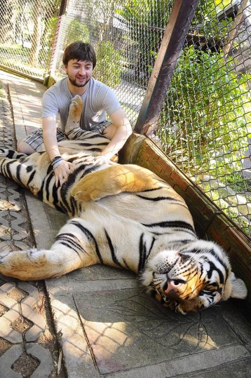tigre recostado mientras le rascan la pancita