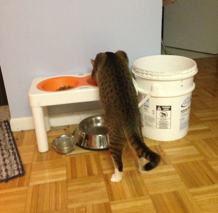 Gato parado comiendo en unos platos de comida