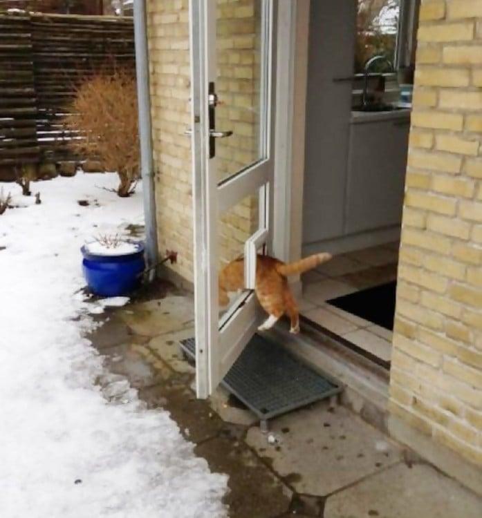 Gato atorado en su pequeña puerta para gato