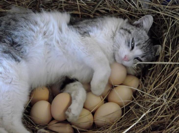 Gato acostado en una canasta con unos huevos