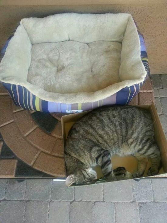 Gato acostado en una caja de cartón junto a una cama para gatos