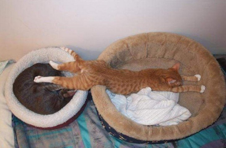 Gato acostado entre dos camas para gato