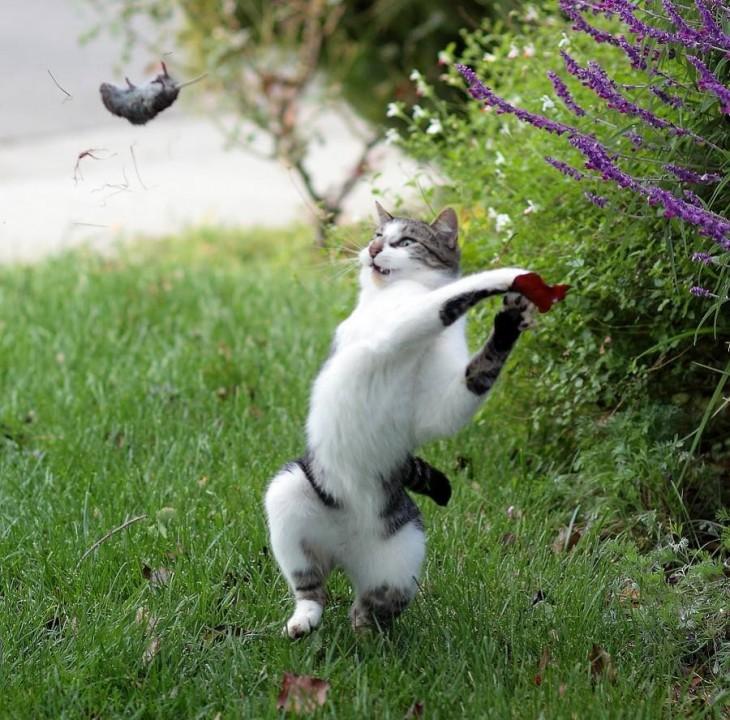 gato bateando raton