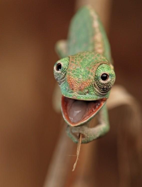 camaleon bebe feliz de ver a quien lo fotografío