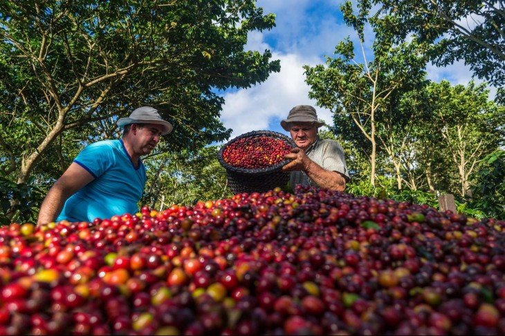 Granos de Café en Costa Rica
