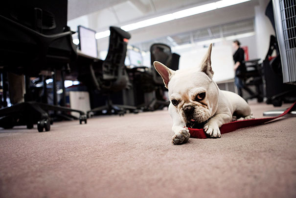 bulldog frances blanco en la oficina