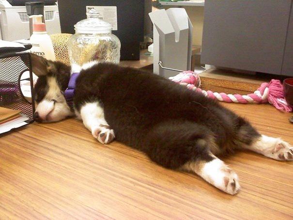 perro dormido en la oficina