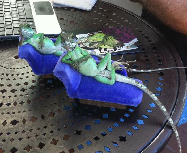 Iguanas sentadas en unos pequeños sillones sobre una mesa como si posaran para la foto