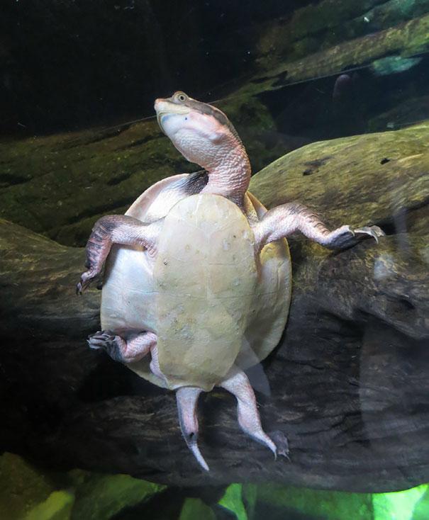 Una tortuga pegada a un vidrio que simula posar para la foto