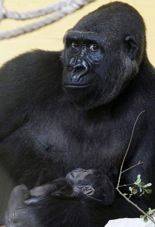 Gorila sosteniendo en sus brazos a su bebé como si estuviera posando para la foto