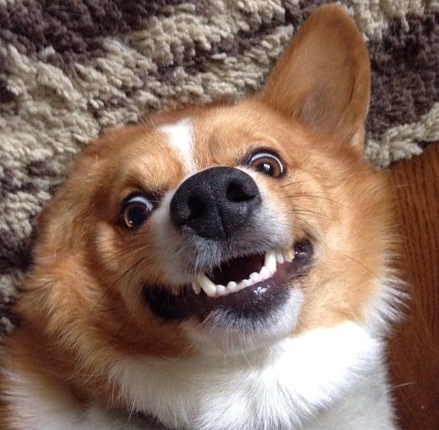 Cara de un perro que parece sonreír y posar ante la cámara