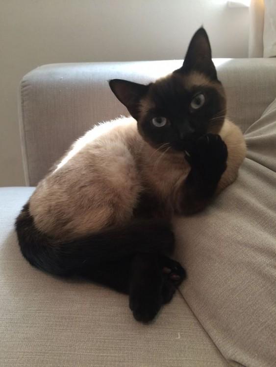Gato sentado en un sillón con una mano en la cara posando ante la cámara