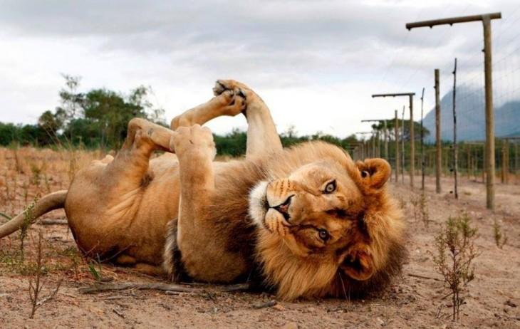 León acostado en el piso soteniendo sus patas como si posará para la foto