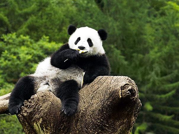 Osos panda sobre un tronco simulando que esta viendo a la cámara