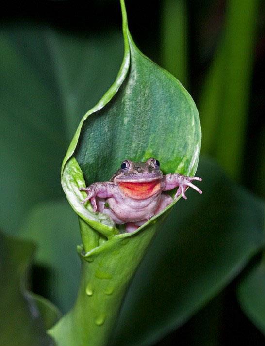 Pequeña rana que simula estar saliendo de una hoja y posa para la foto