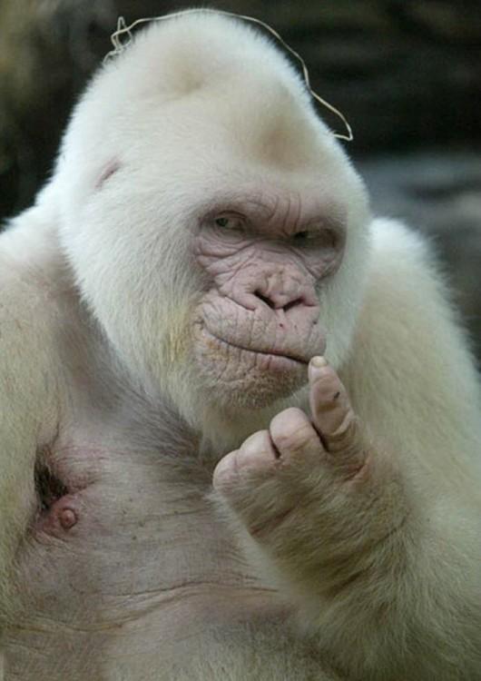 Fotografía de un gorila que parece estar posando para la foto