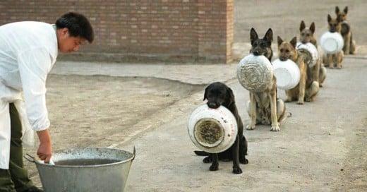 Esta es la forma en que los perritos están entrenados, una disciplina envidiable