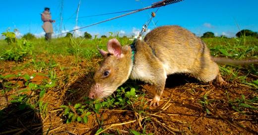 Las ratitas heroicas... no que no humanos!
