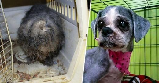 Impresionante transformación de una perrita que estaba infestada de parasitos
