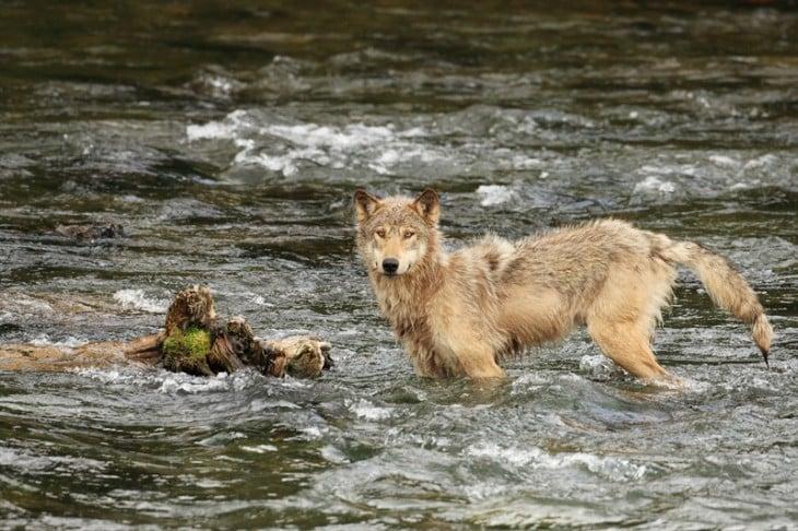 Lobo atravesando un río