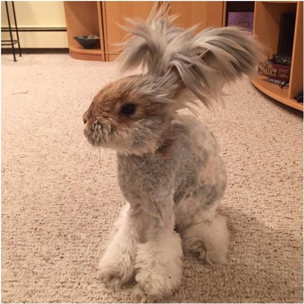 """Conejo Angola famoso llamado """"Wally"""""""