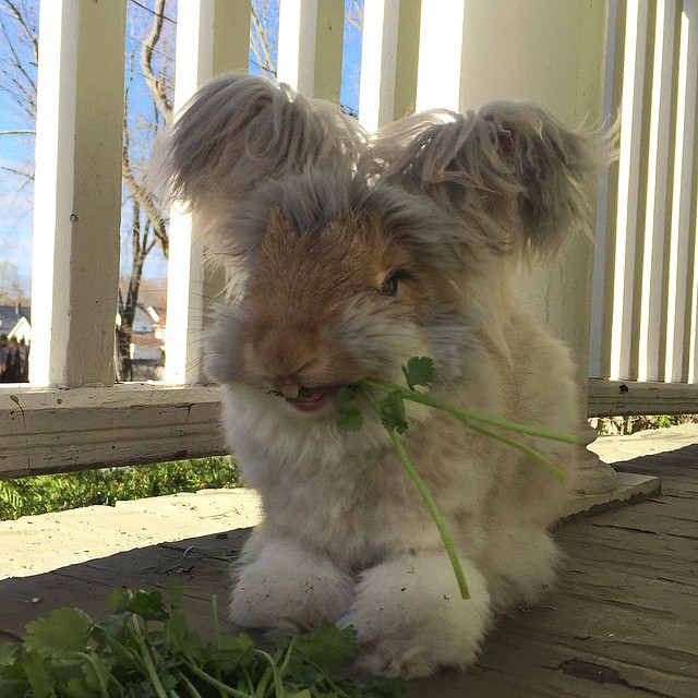 Wally el conejo comiendo un poco de cilantro