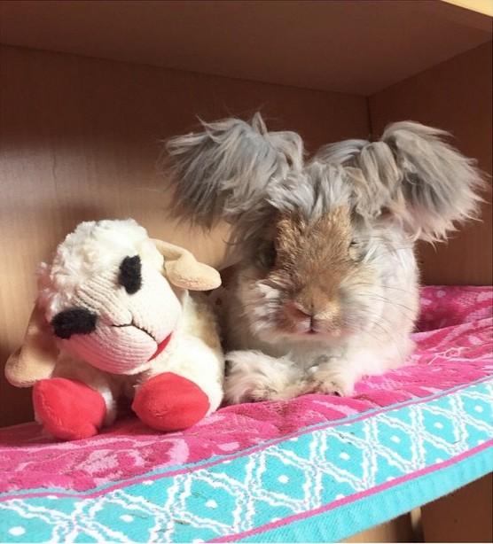 El conejo angora Wally acostado junto a un oso de peluche