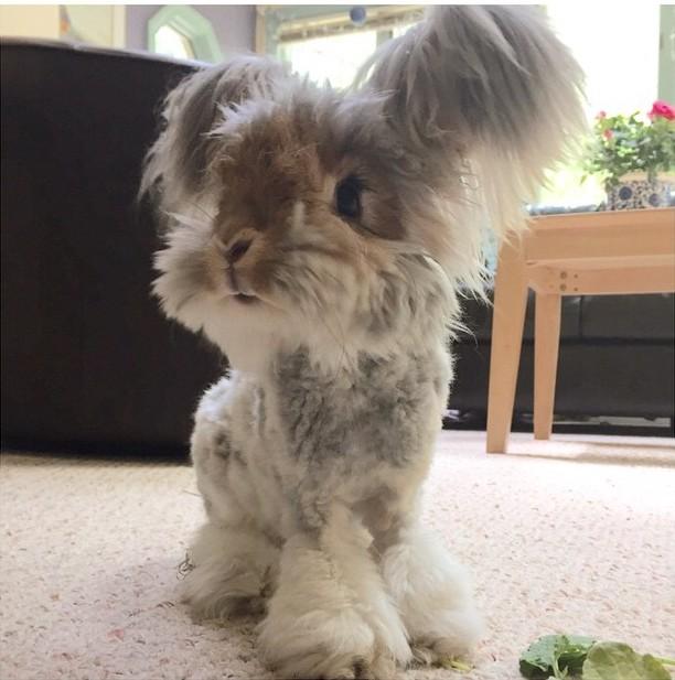 Wally el famoso conejo angora de Instagram