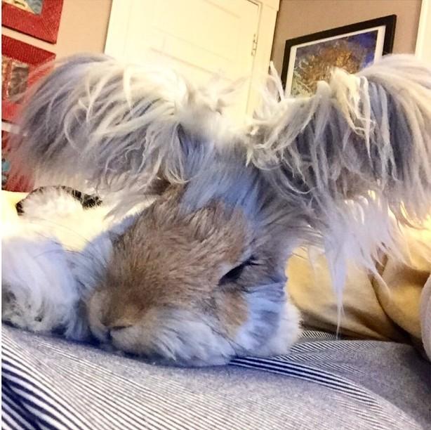 El conejo Wally acostado mostrando sus largas orejas