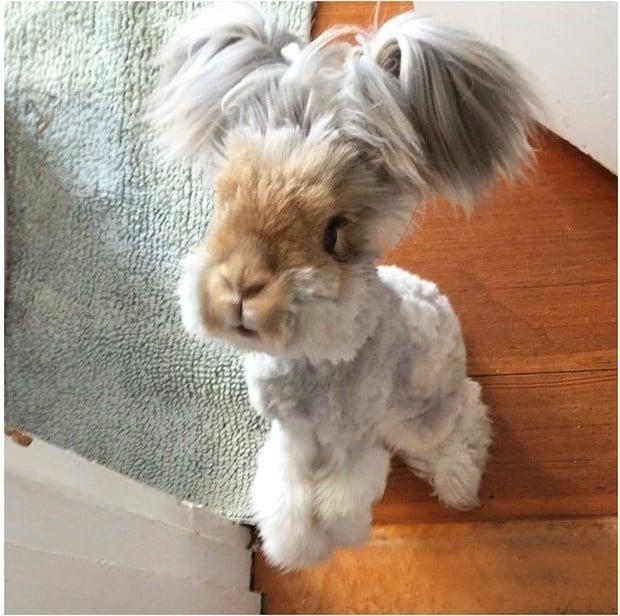 El conejo angora Wally parado sobre sus dos patas