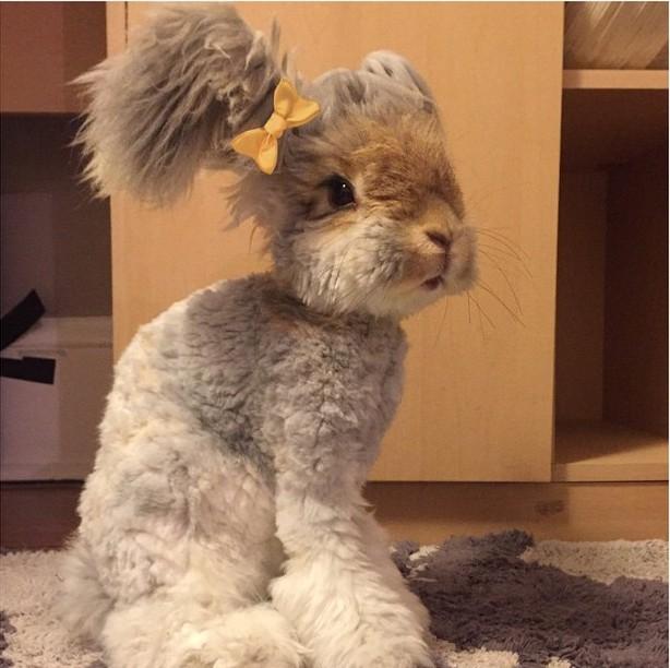 Conejo Angora llamado Wally con un pequeño moño amarillo en una oreja