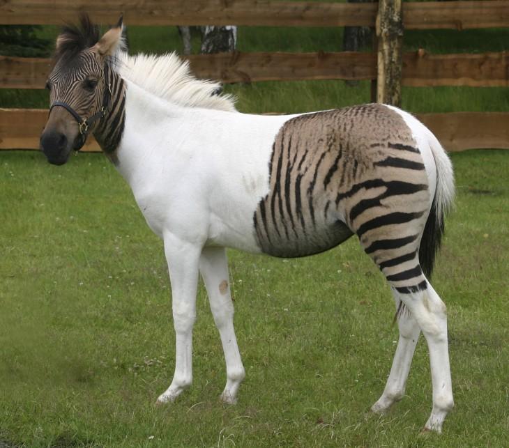 Caballo de color blanco y con colores de cebra que pareciera que tiene photoshop