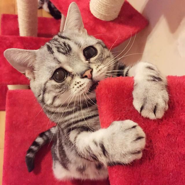 gato de cara triste subiendo unos escalones hacia su cama