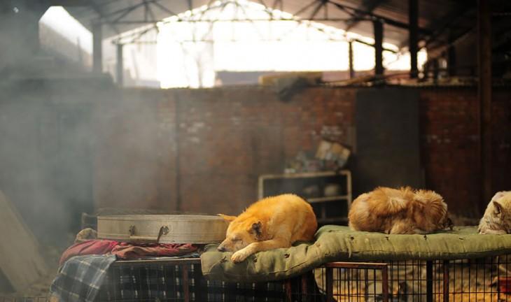 Fotografía de tres perros acostados sobre unas jaulas en China