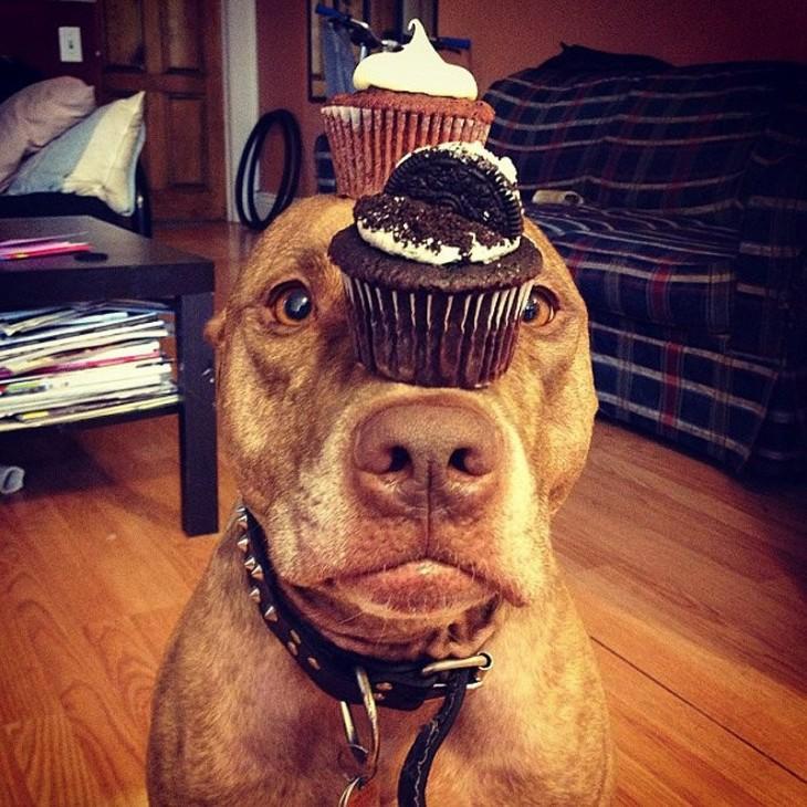 Scout perro que sostiene cosas en la cabeza con dos pastelillos encima