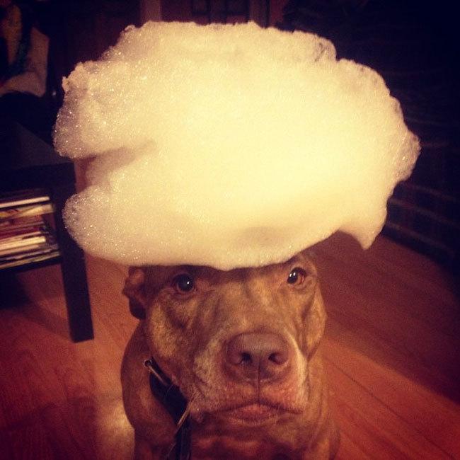 Perro sostiene cosas en la cabeza con espuma encima