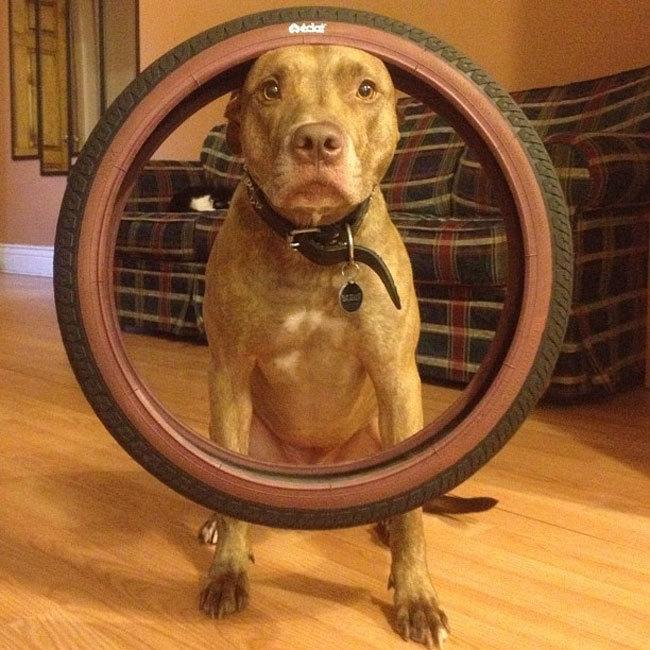 Perro sostiene cosas en la cabeza con una llanta encima
