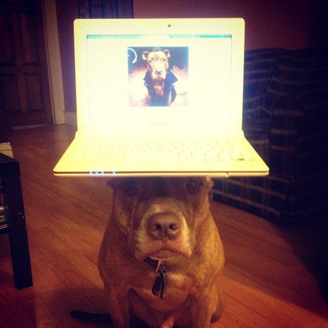 Perro sostiene cosas en la cabeza con una laptop encima