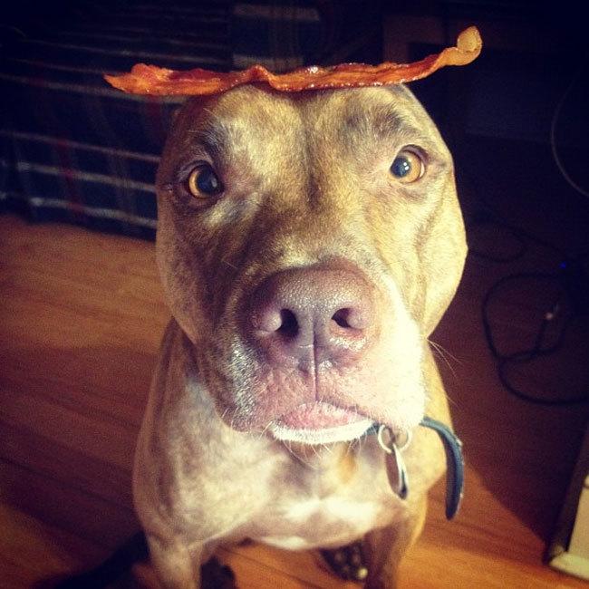 Perro sostiene cosas en la cabeza con un tocino encima