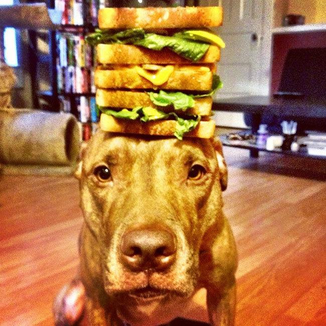 Perro que sostiene cosas en la cabeza con un gran sandwich encima