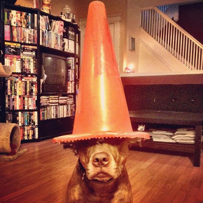 Perro que sostiene cosas en la cabeza con un cono anaranjado encima